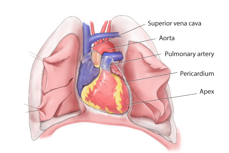 Heart Surface Anatomy