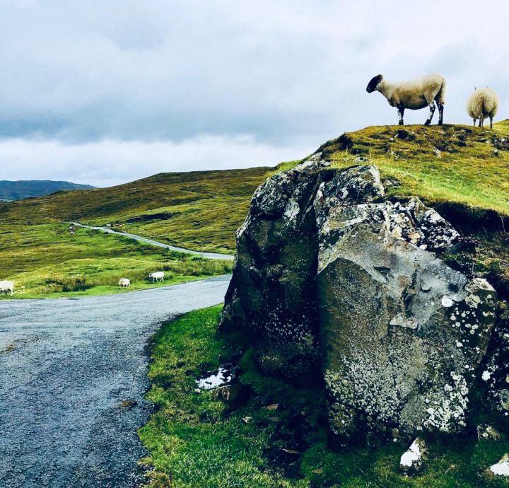 Isola di Skye: le pecore, grandi protagoniste del paesaggio: sorvegliano la strada e circolano libere