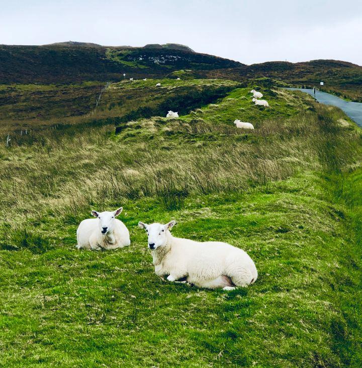 Isola di Skye: Le pecorelle in relax a bordo strada nei verdi prati