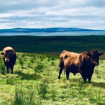 Isola di Skye: manzi scozzesi in primo piano al pascolo con lo splendido loch nello sfondo