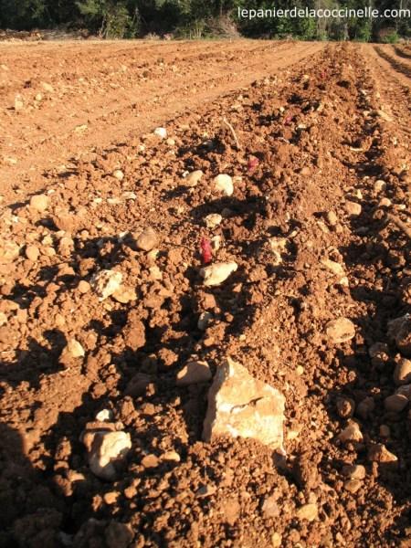 Mas-d'Arcaÿ-plantation-vigne