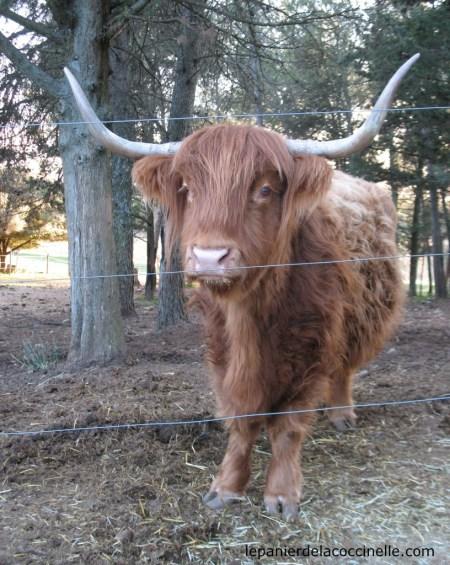 Domaine-Saint-Jean-de-l'Arbousier-vache-écossaise