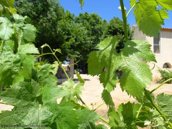 vigne-Domaine-Enclos-de-la-Croix-vin-bio-Languedoc