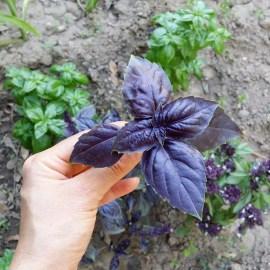 basilic-pourpre-jardin-potager-bio