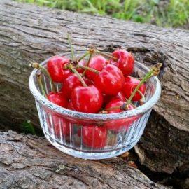 cerises-jardin-potager-bio