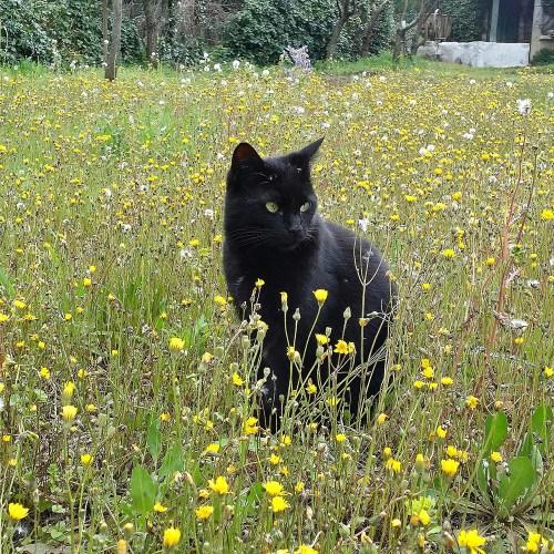 chat-pissenlits-jardin-potager-bio