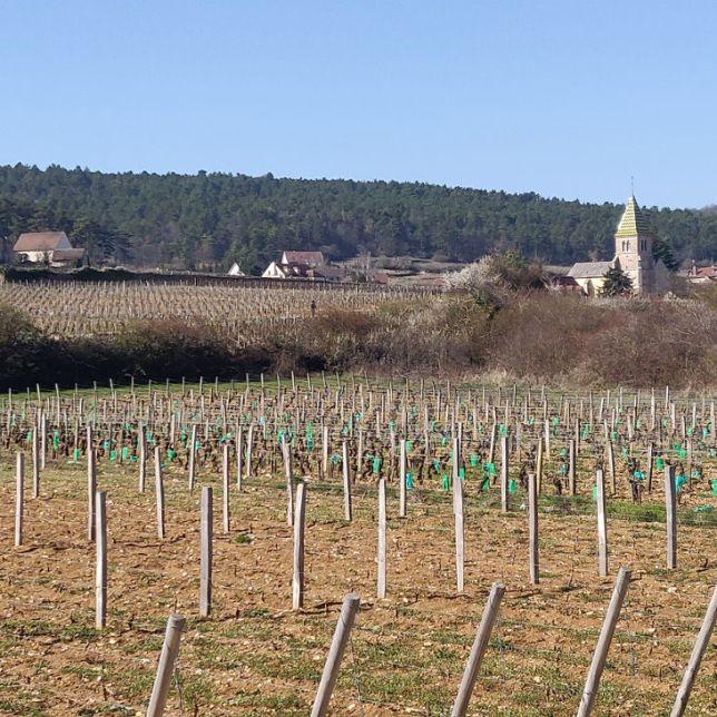 Vignes Bourgogne