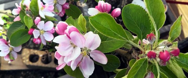 fleurs de pommier Lille