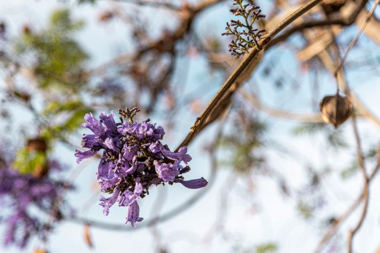 Branch of blue jacaranda tree in bloom