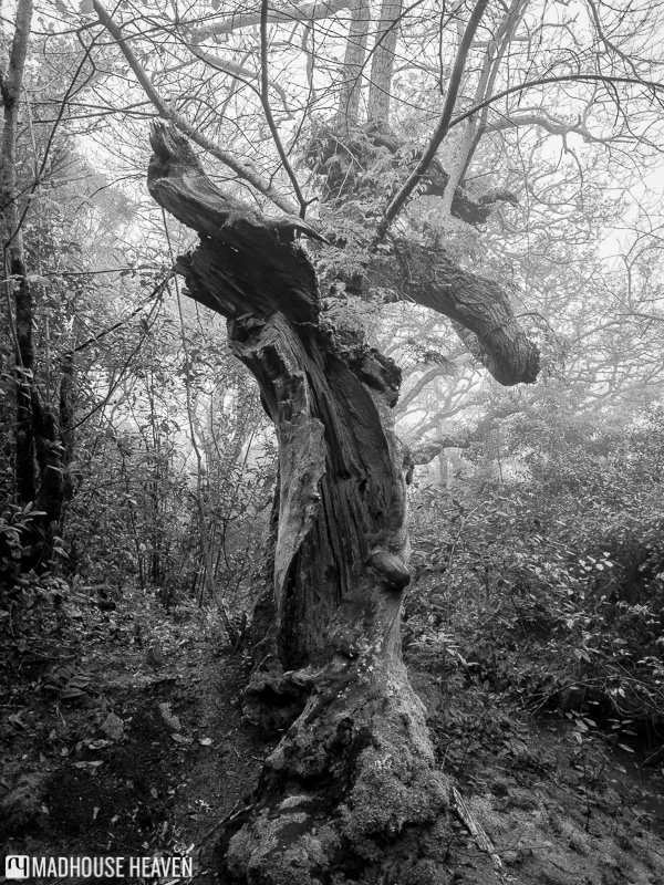 Petrified gnarled tree, enchanted forest, Convent of the Capuchos, Sintra, Portugal