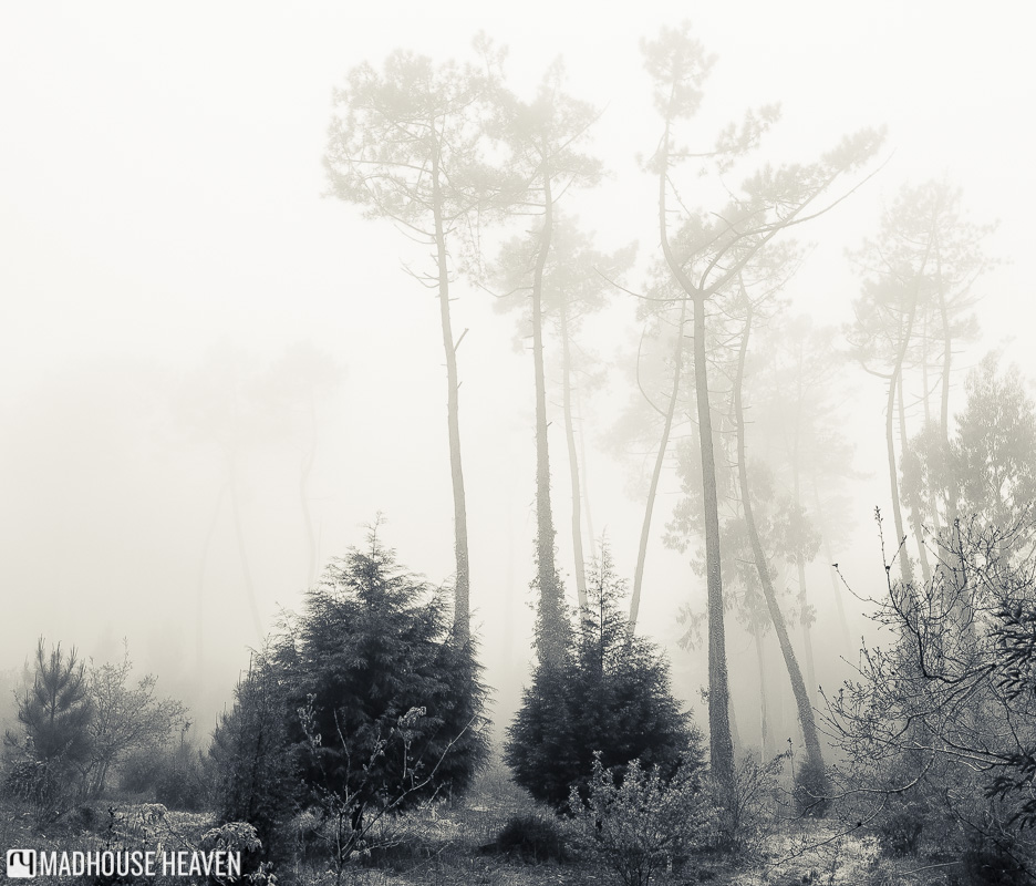 Tall spindly fir trees that make up the Sintra canopy shrouded in fog, Convent of the Capuchos, Portugal.