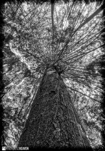 three point perspective of ancient tree canopy