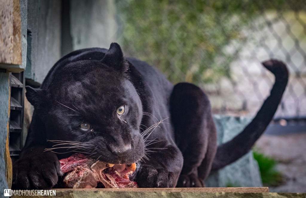 Panther eating a carcass in Artis zoo new enclosures, part of European jaguar breeding programme