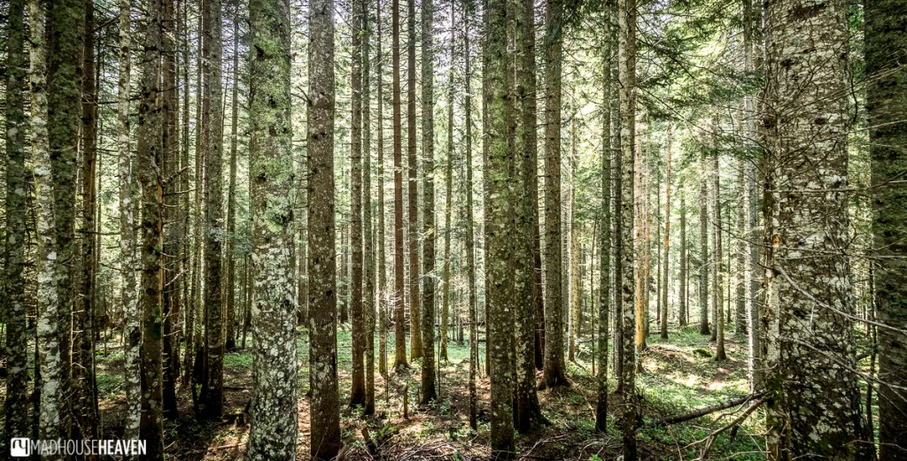 Tall, thin, coniferous trees in the dappled sunlight make a beautiful tree patterned wallpaper.