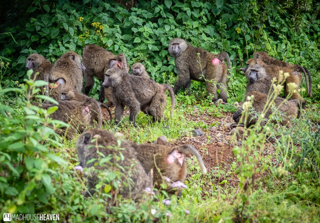 Troop of baboons entering the forest just off the road