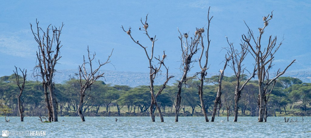 A group of dead trees with many birds' nests on them, mostly of the African fish eagle