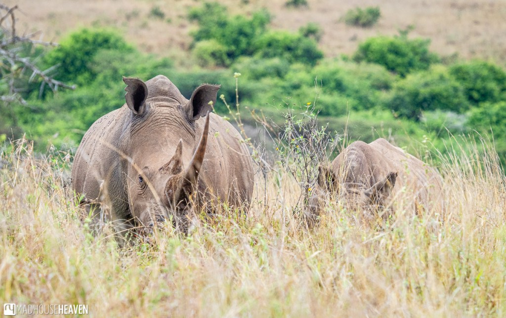 A rhino and her calf in the tall yellow dry grass in the Nairobi National Park in Kenya