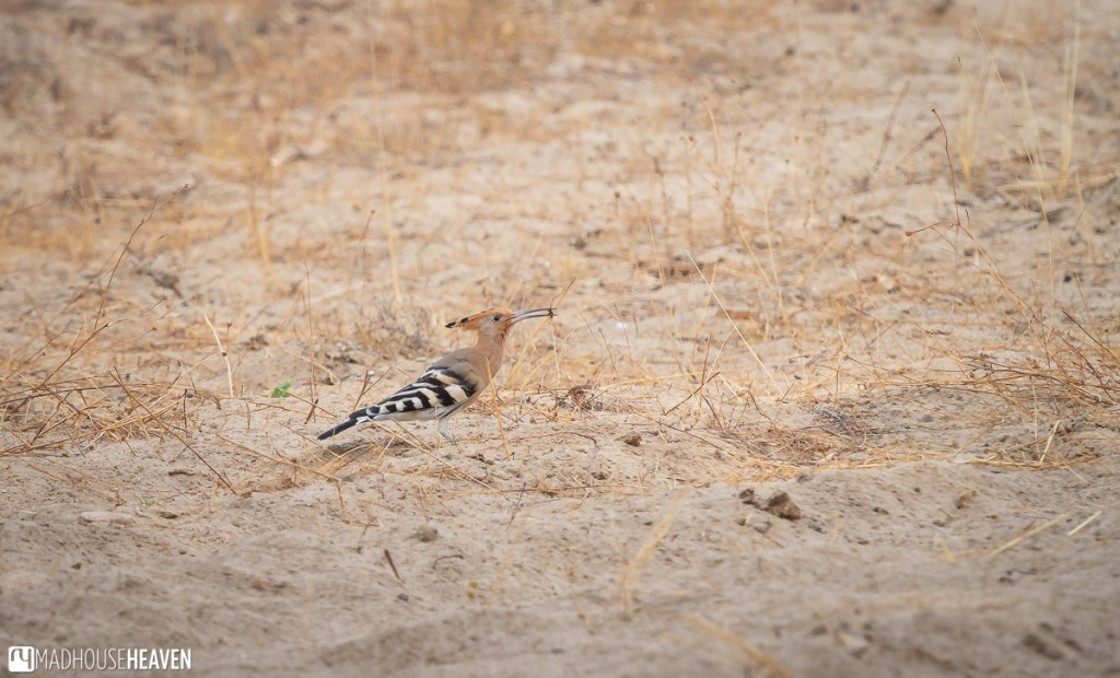 Hoopoe bird in dry grasses of the Doñana National Park in Spain