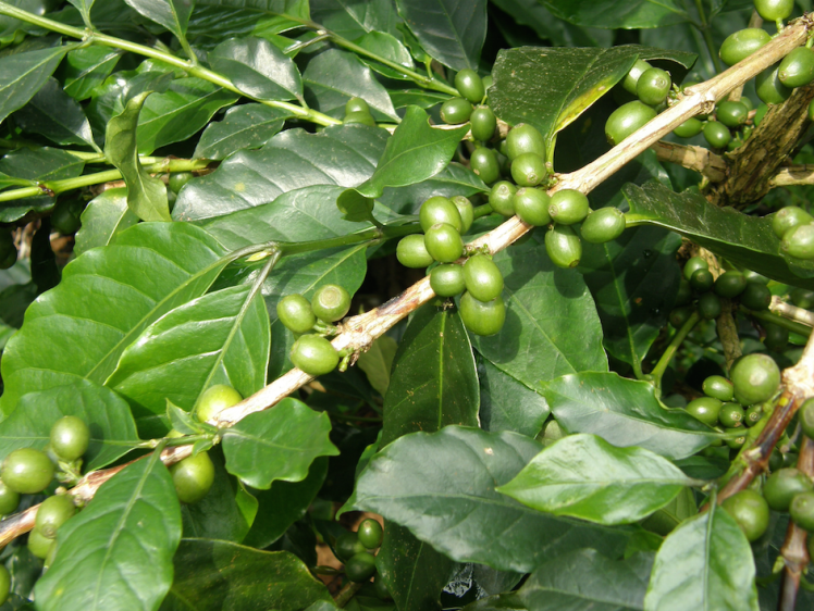 coffee plantation coorg.png