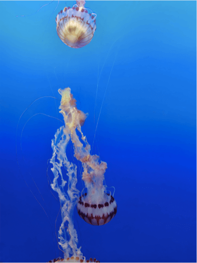 Jelly fish, Aquarium