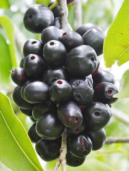 Jamun Fruit