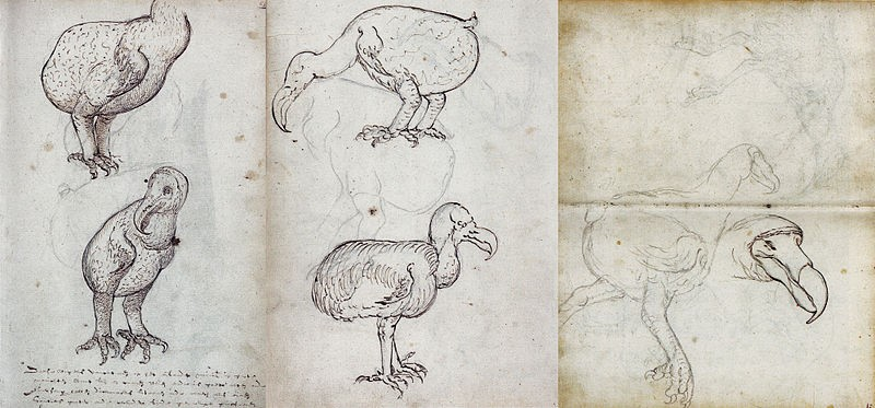 Dodo, 1602.