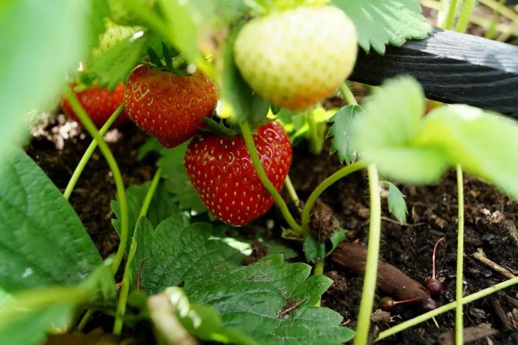 8 tips til at dyrke jordbær