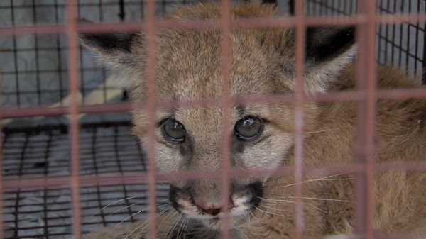 Orphaned Mountain Lion Cub Lost Her Mom and Was Struggling To Survive Makes Miraculous