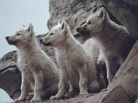 save the wolves petition