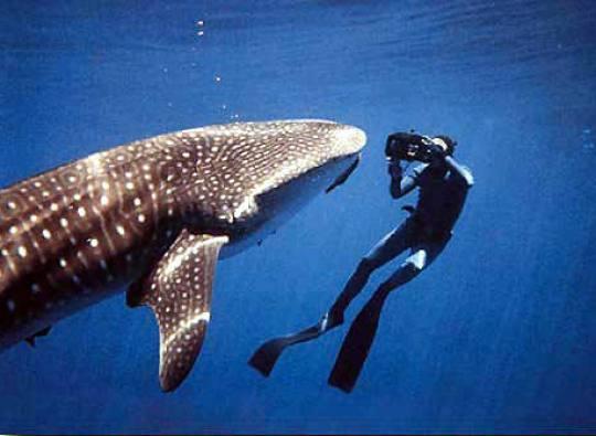 bahamas bans commercial shark-fishing again