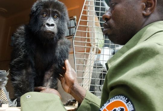 baby gorilla rescued from poachers