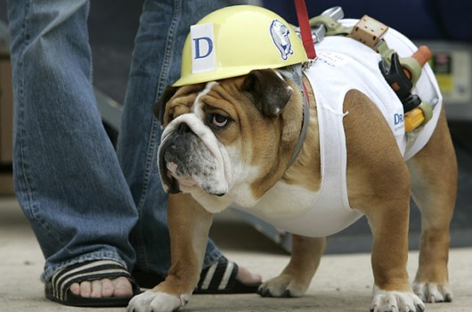 Pet bulldog in construction outfit for Halloween