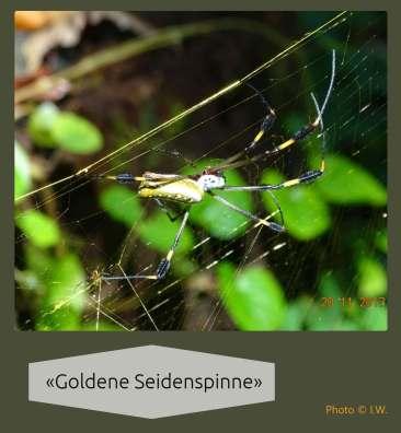 «Goldene Seidenspinne» («Nephila clavipes») {Reisetagebuch Costa Rica: Tag 15}