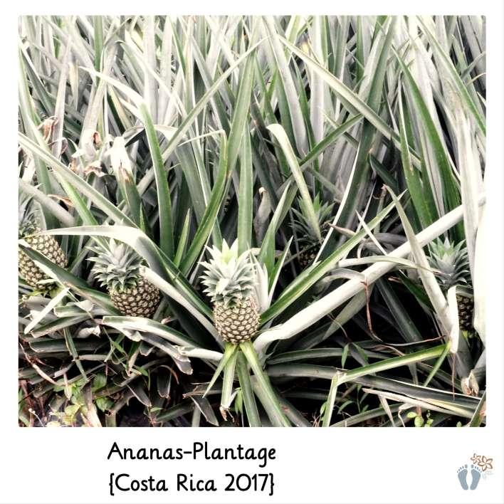 in einer Ananas-Plantage {Costa Rica 2017}