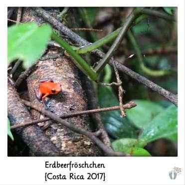 Erdbeerfröschchen {Costa Rica 2017}
