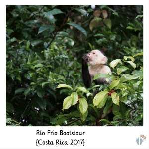 Weißschulter-Kapuzineraffen bei der Bootstour den «Río Frío» entlang {Costa Rica 2017}