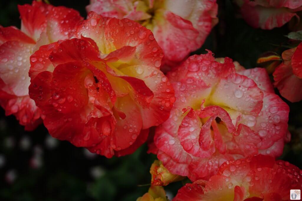 Rosengarten im Botanischen Garten {Reisetagebuch «Roadtrip durch Neuseeland mit dem Bus»: «Christchurch»}