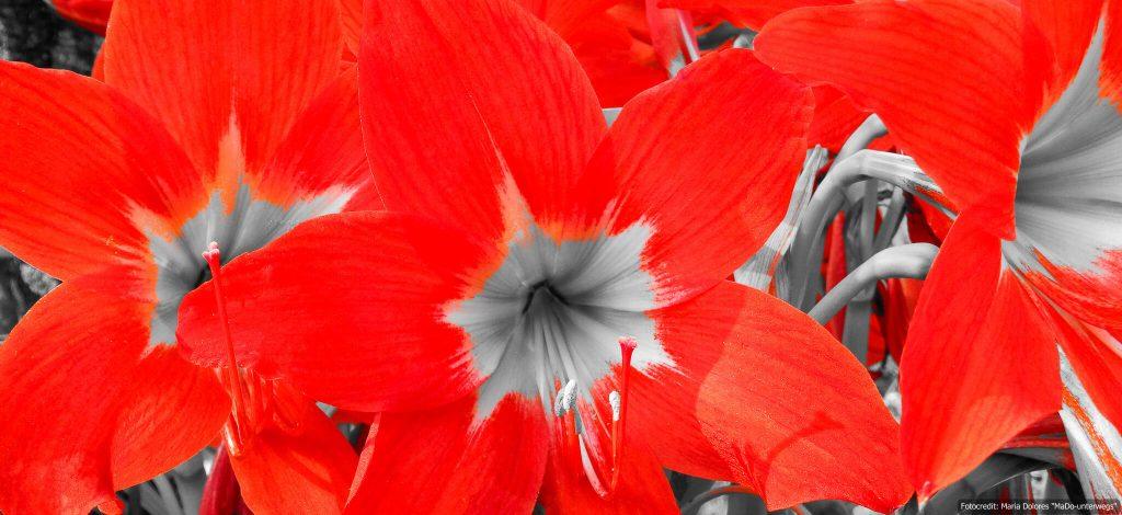 Lilie - Foto schwarz-weiß mit ColorKey-Effekt in rot