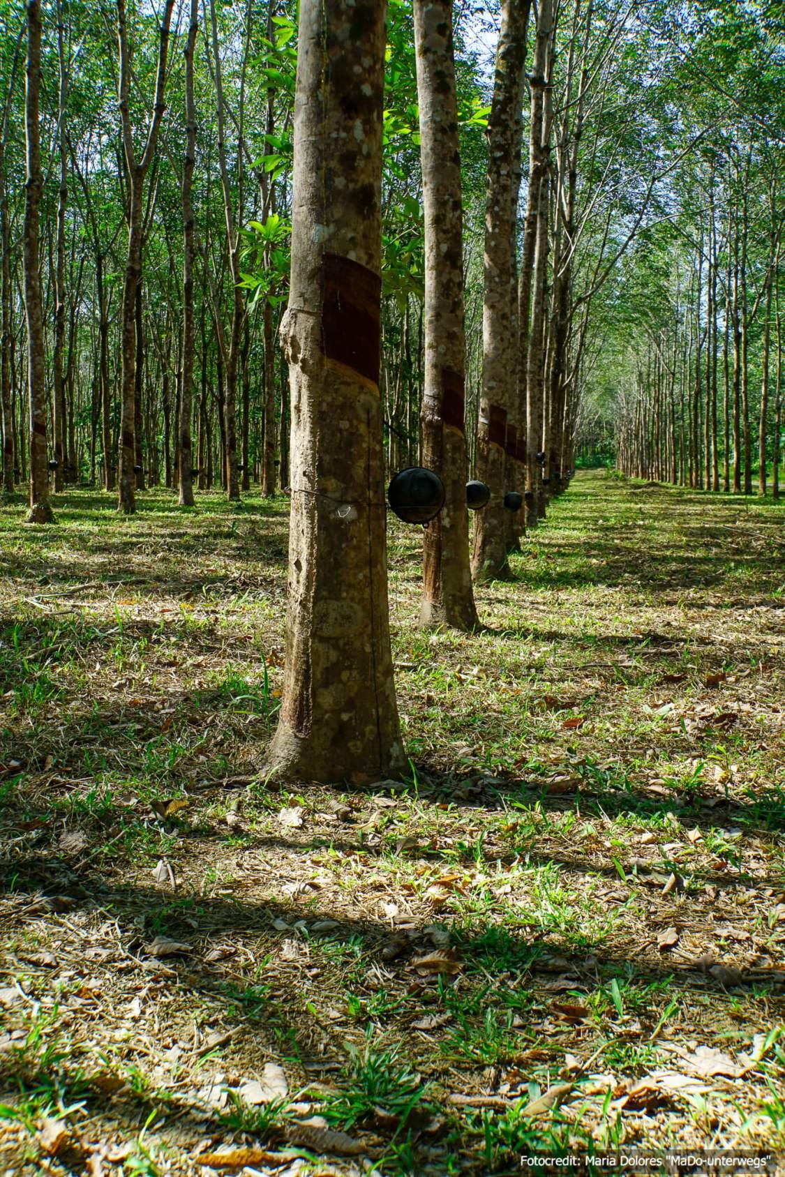 Kautschukplantage auf Ko Chang Ranong (Reisetagebuch «Thailand als Alleinreisende ohne Roller entdecken»)