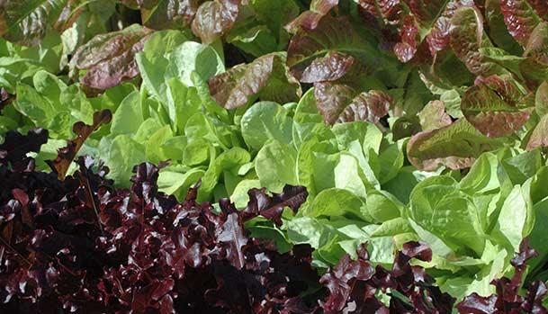 Salater i haven