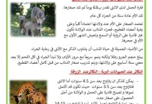 Photo of التكاثر عند الحيوانات الولودة – التكاثر بالولادة عند الحيوانات مثال الذئب و الزرافة و القطة