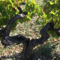 bastide-du-claux-vineyard-old-vine