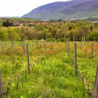 PHOTO – VINEYARD AT VENS-LE-HAUT