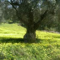 old olive trees – Ciro (at DuCropio) (March 2012)