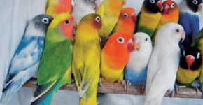 manfaat-madu-untuk-lovebird