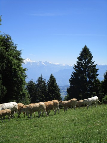 Actual cows on the mountain! (feat. Mont Blanc in the background)