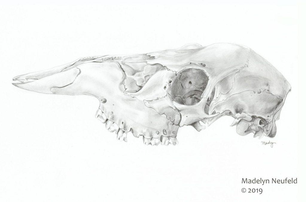 Deer Skull,  Graphite, 2019