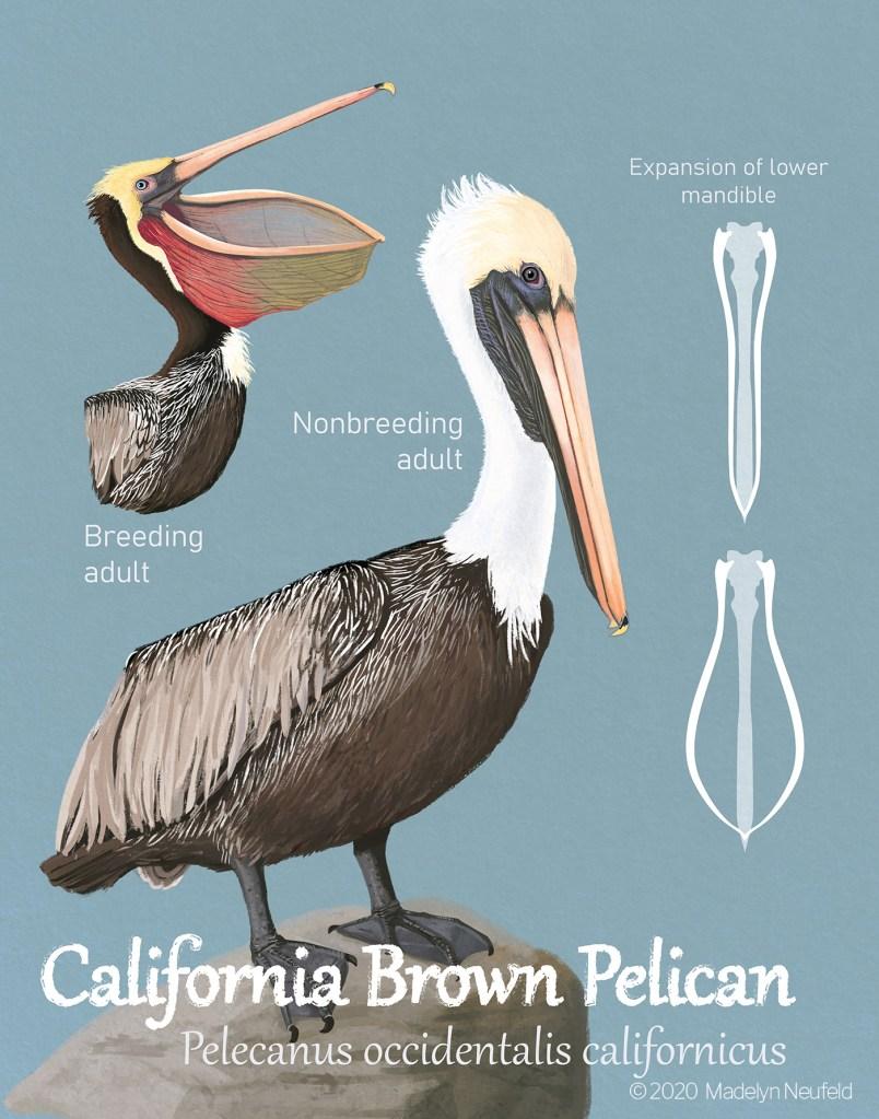 California Brown Pelican Poster, digital, 2020