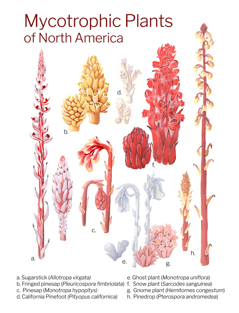 Mycotrophs of North America, gouache, 2020