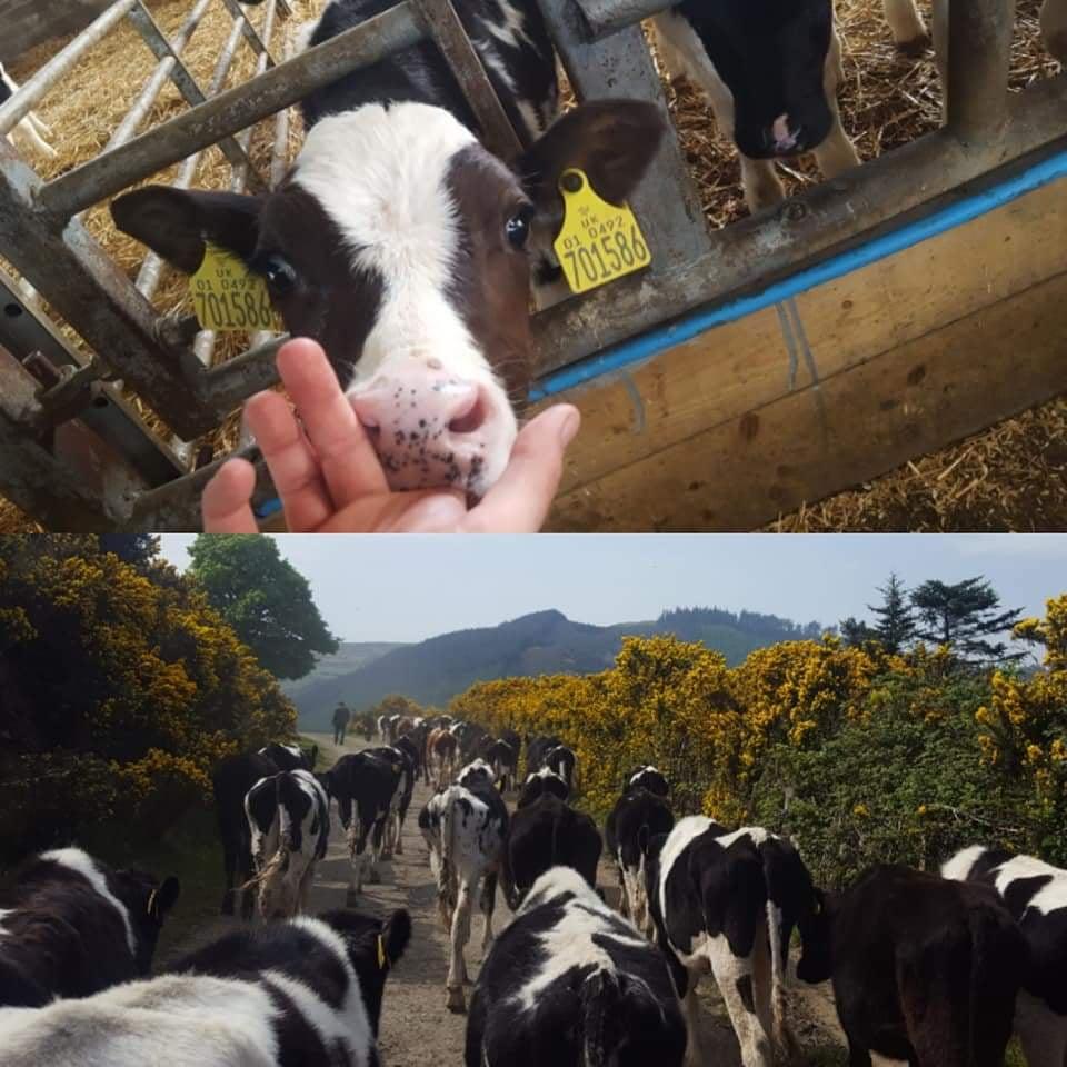 Mae Challis worked on a dairy farm iom 2019